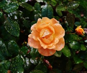 fresh orange roses under dew drops Stock Photo