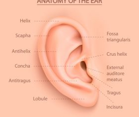 Anatomy of the ear vector