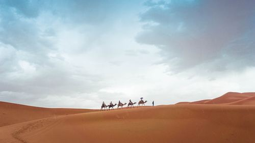 Camel walking in the Sahara desert Stock Photo