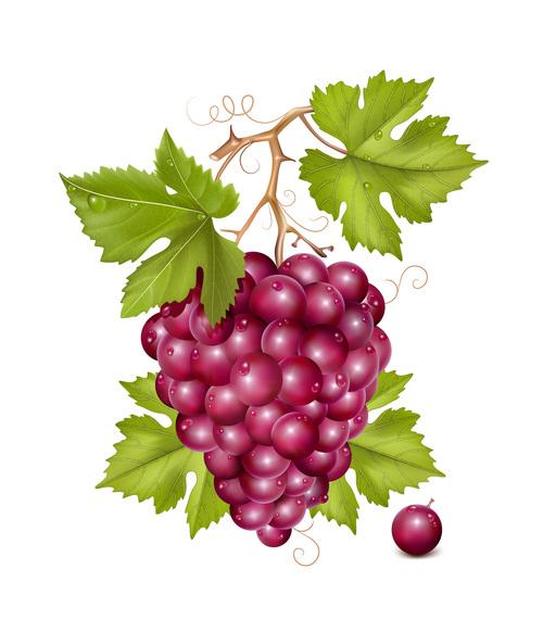 Fresh grape design vectors