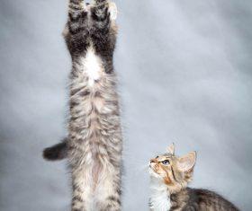 Kitten jumping up Stock Photo 04
