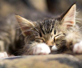 Little fluffy kitten sleeping Stock Photo 02