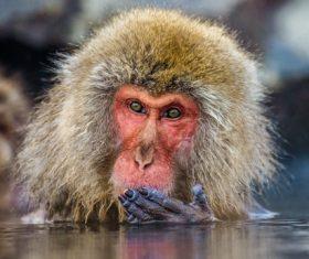 Monkey winter Enjoy hot spring Stock Photo 01