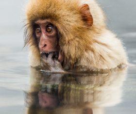 Monkey winter Enjoy hot spring Stock Photo 03