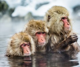 Monkey winter Enjoy hot spring Stock Photo 04