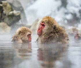 Monkey winter Enjoy hot spring Stock Photo 07
