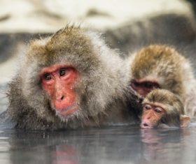 Monkey winter Enjoy hot spring Stock Photo 08
