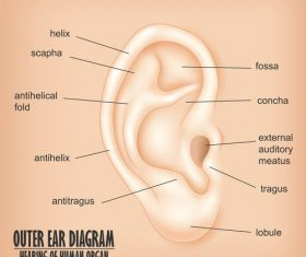 Outer ear diagram vector material