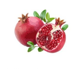 Pomegranate hand drawn illustration fruit material vector
