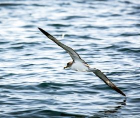Seagull skimming over the sea level Stock Photo