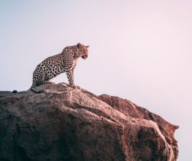 Stock Photo Leopard standing on the top of the mountain