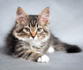 Stock Photo Little fluffy kitten 04