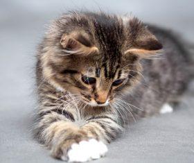 Stock Photo Little fluffy kitten 08
