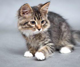 Stock Photo Little fluffy kitten 09
