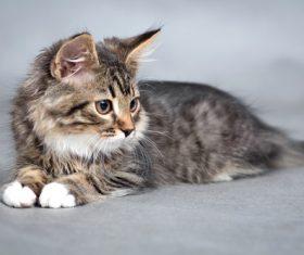 Stock Photo Little fluffy kitten 11