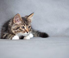 Stock Photo Little fluffy kitten 12