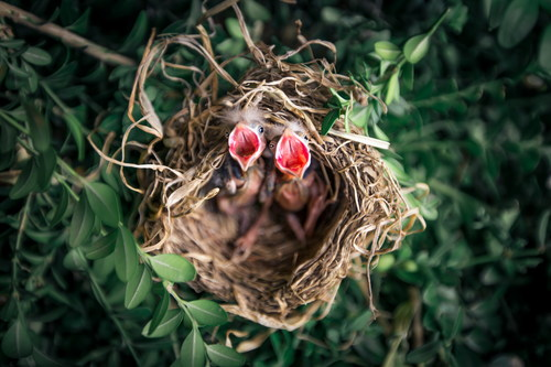 Stock Photo Nestlings waiting to be fed in a birds nest