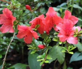 Stock Photo Red azalea after the rain