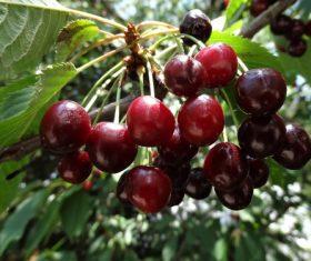 Stock Photo Red cherry on cherry tree