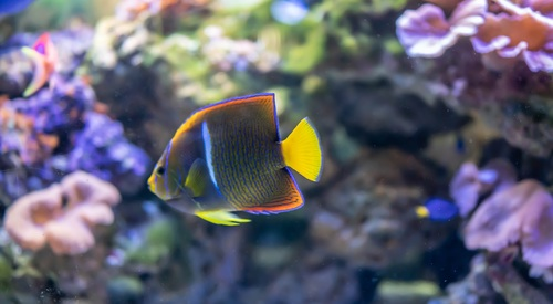 Tropical ornamental fish Stock Photo