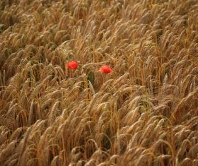 Two red wildflowers in wheat field Stock Photo