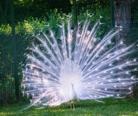 White peacock opening Stock Photo
