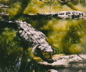 Wild alligator Stock Photo