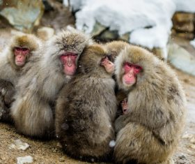 Winter monkey Get together to get warm Stock Photo