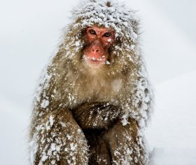 Winter snowy day outdoor monkey Stock Photo