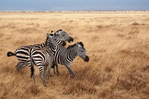 Zebra on the prairie Stock Photo 01