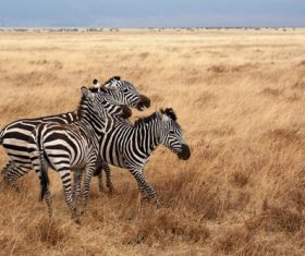 Zebra on the prairie Stock Photo 01