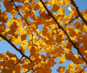 Autumn yellow ginkgo leaves Stock Photo 01
