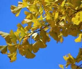 Autumn yellow ginkgo leaves Stock Photo 02