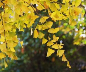 Autumn yellow ginkgo leaves Stock Photo 03