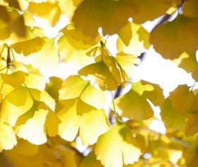 Autumn yellow ginkgo leaves Stock Photo 05