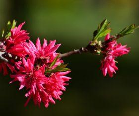 Beautiful chrysanthemum peach Stock Photo 01
