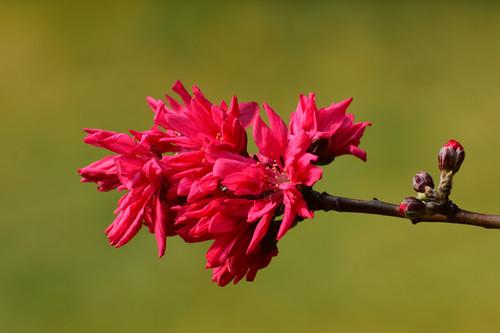 Beautiful chrysanthemum peach Stock Photo 02
