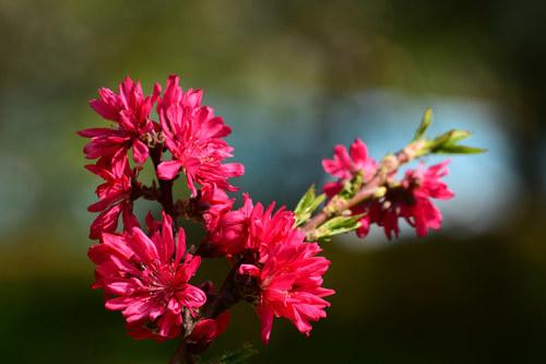 Beautiful chrysanthemum peach Stock Photo 03