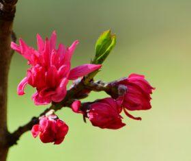 Beautiful chrysanthemum peach Stock Photo 04