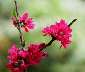 Beautiful chrysanthemum peach Stock Photo 05