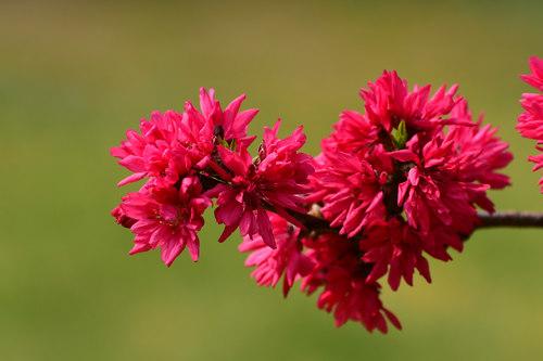 Beautiful chrysanthemum peach Stock Photo 06