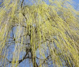 Beautiful weeping willow Stock Photo 01