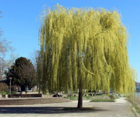 Beautiful weeping willow Stock Photo 02