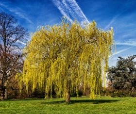Beautiful weeping willow Stock Photo 03