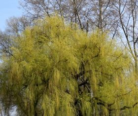 Beautiful weeping willow Stock Photo 04