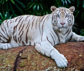 Bengal White Tiger Stock Photo 04