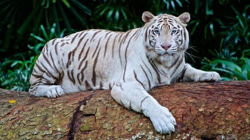 Bengal White Tiger Stock Photo 04