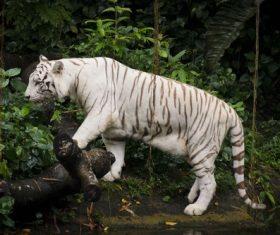 Bengal White Tiger Stock Photo 05