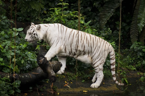 Bengal White Tiger Stock Photo 05
