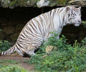 Bengal White Tiger Stock Photo 06